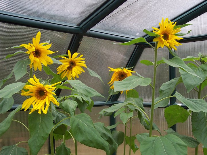 greenhouse sunflowers at CEC