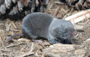 short-tailed-shrew